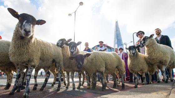 sheep-drive-2015